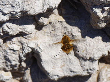 Heath bee fly (Bombylius minor) hovering near nest burrows of host bees (Colletes sp.) in a sandy clay bank, Dorset heathland, UK, July.