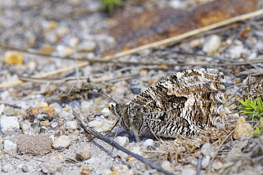 Grayling butterfly (Hipparchia semele) well camouflaged as it suns with its wings closed on a bare sandy patch of earth on Dorset heathland, UK, July.