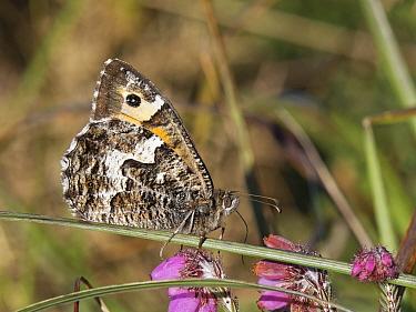 Grayling butterfly (Hipparchia semele) nectaring on Cross-leaved heath (Erica tetralix) flowers, Dorset heathland, UK, July.
