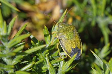 Gorse shieldbug (Piezodorus lituratus) well camouflaged on a Common gorse bush (Ulex europaeus), Dorset heathland, UK, July.