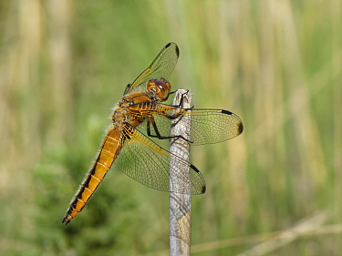 Four-spotted chaser dragonfly (Libellula quadrimaculata) adult sunning on a reed stem near a heathland pond, Dorset, UK, May.
