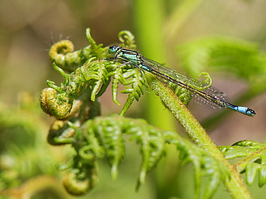 Blue-tailed damselfly (Ischnura elegans) male sunning on a Bracken frond, Dorset heathland, UK, May.