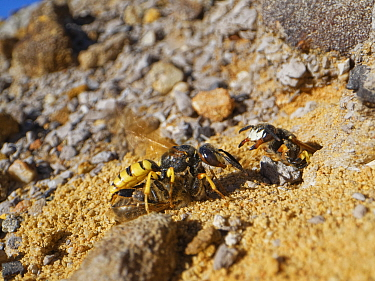 Bee wolf / Bee-killer wasp (Philanthus triangulum) female returning to her nest with a paralysed Honey bee (Apis mellifera) to stock her brood cells, being confronted by an intruder who has taken over...