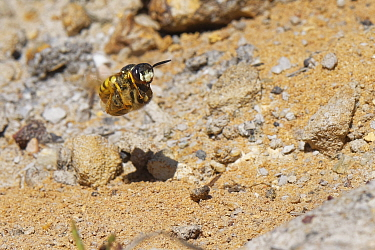 Bee wolf / Bee-killer wasp (Philanthus triangulum) female flying back to her nest in a bare, sandy patch of heathland with a paralysed Honey bee (Apis mellifera) to stock her brood cells with, Dorset,...