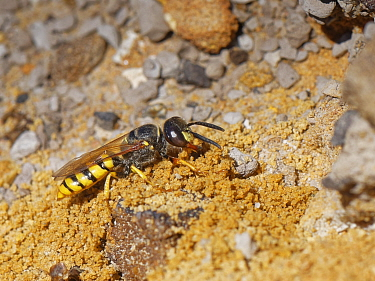Bee wolf / Bee-killer wasp (Philanthus triangulum) female excavating a nest burrow in a bare, sandy bank in heathland, Dorset, UK, July.