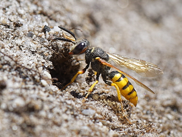 Bee wolf / Bee-killer wasp (Philanthus triangulum) female at her nest entrance in a bare, sandy bank in heathland, Dorset, UK, July.