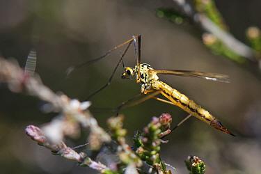 Tiger cranefly (Nephrotoma submaculosa) female. a mainly coastal, sandy habitat species, resting on heather, Dorset heathland, UK, May.