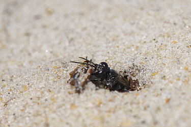 Black grasshopper grabber wasp (Tachysphex nitidus) pulling a small grasshopper it has paralysed into its nest burrow excavated in coastal sand dunes to act as food for its larvae, Dorset heathland, U...
