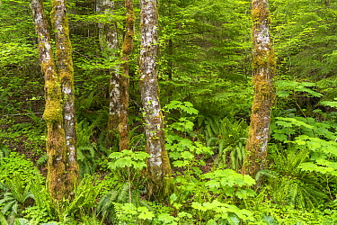 Red alder (Alnus rubra), Devil's club (Oplopanax horridus), and Sword fern (Polystichum munitum). mix in temporate rainforest, Oregon, USA, June.