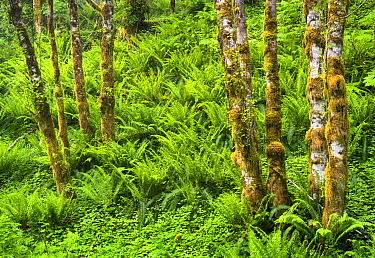 Mossy red alder trees (Alnus rubra) and sword ferns (Polystichum munitum) in temperate rainforest, Oregon, USA, June.