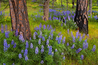 Lupines (Lupinus sp) in a ponderosa pine grove; Columbia River Gorge, Oregon, USA. April.