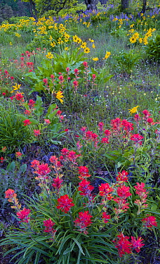 Indian paintbrush (Castilleja), balsamroot (Balsamorhiza sagittata), and lupin flowers (Lupinus sp) in the Columbia River Gorge, Oregon, USA. April.