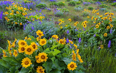 Arrowleaf balsamroot (Balsamorhiza sagittata) and lupins (Lupinus sp.), Columbia River Gorge, Oregon, USA. April.