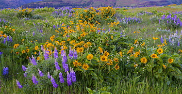 Arrowleaf balsamroot (Balsamorhiza sagittata), lupins (Lupinus sp.), and Oregon manroot (Marah oregonus) in bloom at Tom McCall Nature Reserve, Rowena Plateau, Columbia River Gorge, Oregon, USA. May.