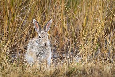 Desert cottontail rabbit (Sylvilagus audubonii), Badlands National Park, South Dakota, USA. August.
