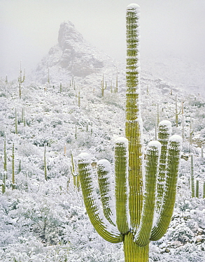 Saguaro cactus (Carnegiea gigantea) blanketed with snow during Christmas Day storm. Santa Catalina Mountains, Arizona, USA>