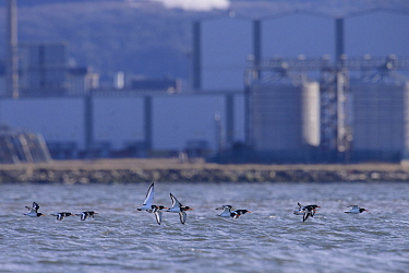 Oystercatcher (Haematopus ostralegus) flock flying low over the sea with industrial buildings of Teeside in the background. Durham, UK. January