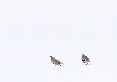 Grey partridges (Perdix perdix) chasing each other across a snow-covered field. Durham, UK. March.