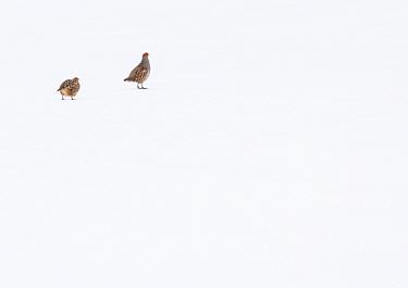 Grey partridge (Perdix perdix) pair in snow-covered field. Durham, UK. March
