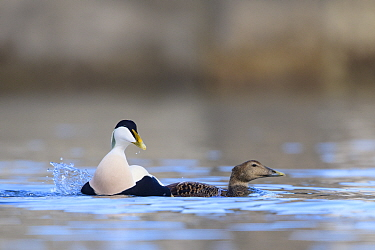 Eider (Somateria mollissima) pair after mating. Northumberland, UK. March