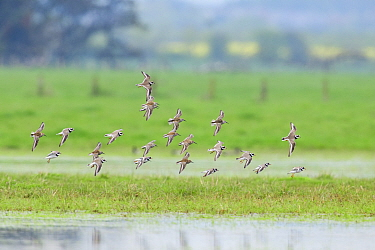 Flock of Dunlin (Calidris alpina) and Ringed plover (Charadrius hiaticula) coming into land on marshy pool whilst on migration. Northumberland, UK. May