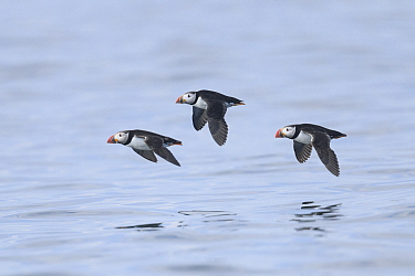 Atlantic puffin (Fratercula arctica) in flight over the sea. Farne Islands, Northumberland, UK. July.