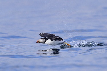 Atlantic puffin (Fratercula arctica) taking off from the sea. Farne Islands, Northumberland, UK. July.