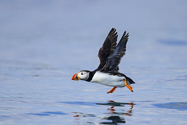 Atlantic puffin (Fratercula arctica) taking off from the sea. Farne Islands, Northumberland, UK. July