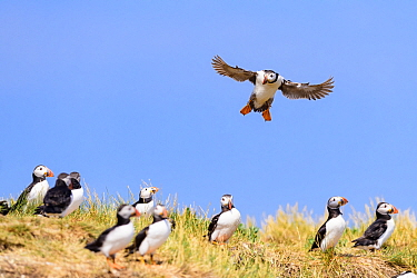 Atlantic puffin (Fratercula arctica) coming into land at its burrow. Farne Islands, Northumberland, UK. July