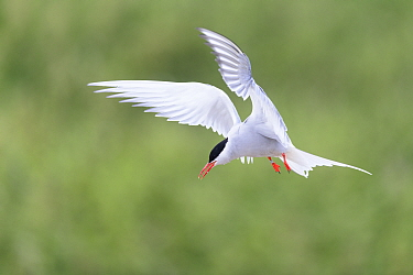 Arctic tern (Sterna paradisaea) in flight. Farne Islands, Northumberland, UK. July
