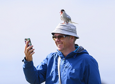 Arctic tern ((Sterna paradisaea) adult calling perched on man's head while he takes a selfie with mobile phone. Farne Islands, Northumberland, UK. July
