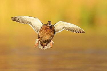 Mallard (Anas platyrhynchos) female landing. Richmond Park, London, UK. November