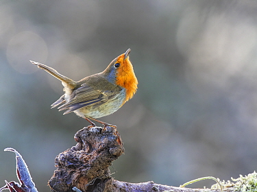 RF - European Robin (Erithacus rubecula) displaying to another robin Wales, UK, January. (This image may be licensed either as rights managed or royalty free.)