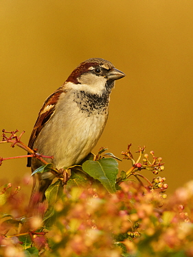 House sparrow (Passer domesticus) male in garden Wales, UK, February