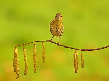 Siskin (Carduelis spinus) female perched on branch with catkins Wales, UK, February