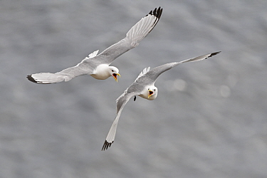Black-legged kittiwake (Rissa tridactyla), two fighting in mid air. Varanger, Norway. May.