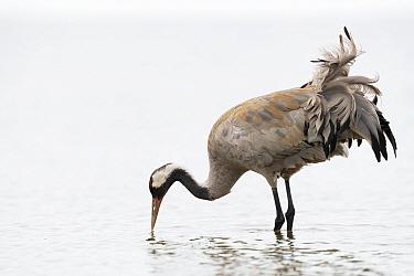 Common crane (Grus grus) feeding in water. Pasvik, Norway. May.