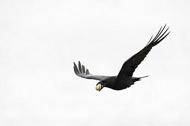Common raven (Corvus corax) in flight with Black-legged kittiwake (Rissa tridactyla) egg in beak. Varanger, Norway. June.