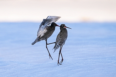 Spotted redshank (Tringa erythropus), two males fighting in snow. Pasvik, Norway. May.