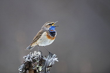 Bluethroat (Luscinia svecica) male singing. Vauldalen, Norway. May.