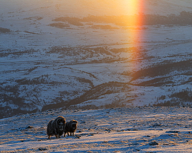 Muskox (Ovibos moschatus) female and calf walking up slope in snow covered landscape, sun dog above. Dovrefjell-Sunndalsfjella National Park, Norway. January 2016.