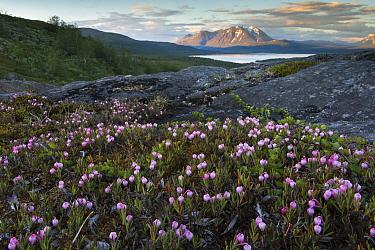 Bog-rosemary (Andromeda polifolia) flowering in Padjelanta National Park, view towards lake and Mount Akka, Stora Sjofallet National Park. Lapland, Sweden. July 2016.