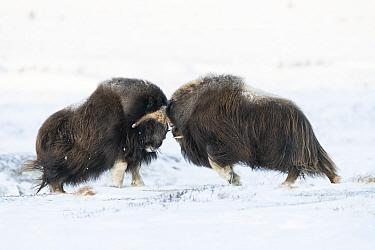 Muskox (Ovibos moschatus) two males head to head fighting. Dovrefjell-Sunndalsfjella National Park, Norway. December.