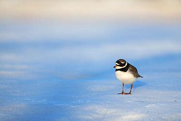 Common ringed plover (Charadrius hiaticula) standing on snow. Pasvik, Norway. May.