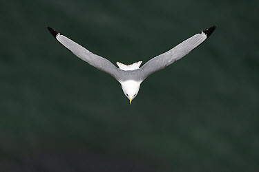 Black-legged kittiwake (Rissa tridactyla) in flight, wings in v-shape. Varanger, Norway. May.