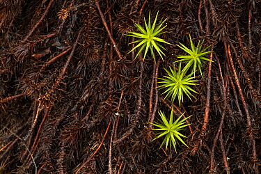 Common haircap moss (Polytrichum commune). Forollhogna National Park, Norway. September.