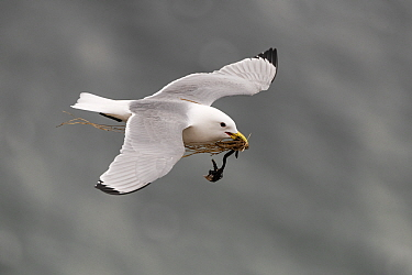 Black-legged kittiwake (Rissa tridactyla) in flight with nesting material in beak. Varanger, Norway. May.