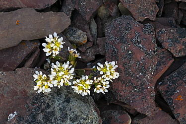 Common scurvygrass (Cochlearia officinalis) amongst rocks. Varanger, Norway. June.