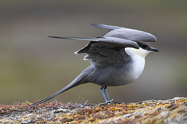 Long-tailed skua (Stercorarius longicaudus) stretching wings. Varanger, Norway. June.