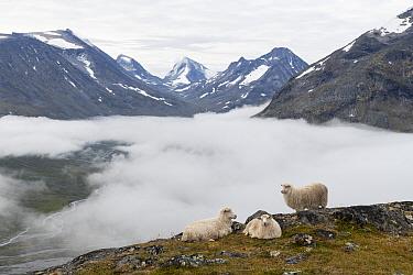 Sheep in mountains, fog in valley below. Visdalen. Jotunheimen National Park, Innlandet, Norway. August 2020.